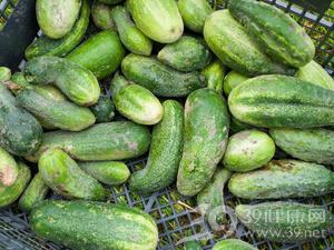 41224.jpg 黄瓜这么吃 真的可以减肥 水果减肥